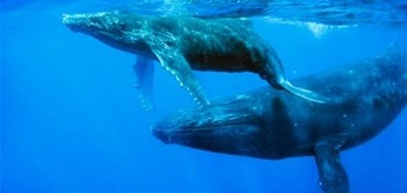 GREENPEACE: Exigí el fin de la caza de ballenas